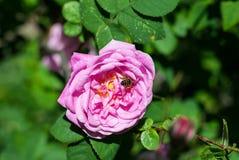 flor de color de rosa salvaje y de la abeja Fotografía de archivo