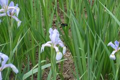 Flor de color de malva en colores pastel del iris de la mariposa Fotografía de archivo