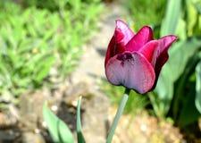 Flor de color morado oscuro del cierre del tulipán para arriba Fotos de archivo libres de regalías