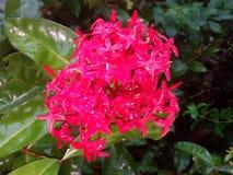 Flor de color de rosa y de rojo Fotos de archivo