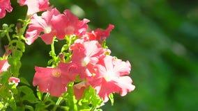 Flor de color salmón rosada de la petunia Petunias rosadas que se sacuden en la brisa Primer rosado de las flores del jardín de l almacen de metraje de vídeo