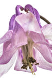 Flor de Columbine Fotografia de Stock Royalty Free