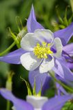 Flor de Columbine azul Imagens de Stock Royalty Free