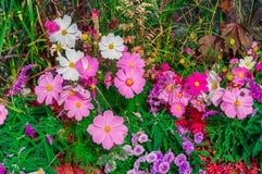 Flor de Comos entre el vidrio de Japón Foto de archivo