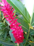 Flor de cor rosa, COM um Fleur rose avec une Fleur de FormPink avec une forme différente photo libre de droits