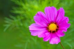 Flor de Cosmea Fotografia de Stock