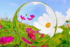 Flor de Cosmea no efeito da bola de vidro com fundo do jardim borrado e do céu azul Fotografia de Stock Royalty Free