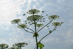 Flor de Cowparsnip contra el cielo foto de archivo libre de regalías