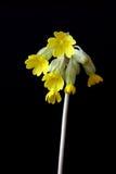 Flor de Cowslip en la floración Imagen de archivo