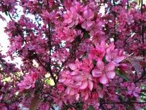 Flor de Crabapple imagens de stock