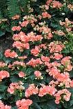 Flor de Crabapple Imagenes de archivo