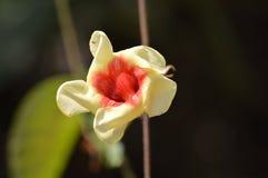 Flor de creme e vermelha Imagem de Stock