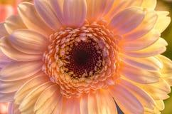 Flor de creme natural do gerbera foto de stock