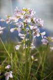 Flor de cuco pelo rio Fotografia de Stock Royalty Free