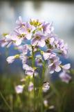 Flor de cuco por el río MCU Fotos de archivo libres de regalías