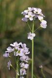 Flor de cuco - pratensis del Cardamine Fotografía de archivo libre de regalías