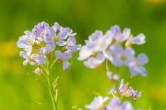 Flor de cuco (pratensis del Cardamine) Imagen de archivo libre de regalías