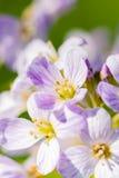 Flor de cuco (pratensis del Cardamine) Foto de archivo libre de regalías