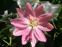 Flor de curuba Curuba blomma Arkivbilder