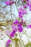 Flor de Cuspidata del Lagerstroemia Imagen de archivo