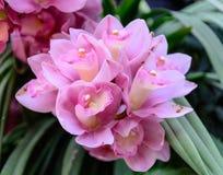 Flor de Cybidium en jardín Imagen de archivo