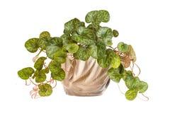 Flor de Cyclamen Imagens de Stock Royalty Free