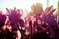 Flor de Cyclamen Imagen de archivo libre de regalías