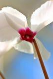 Flor de Cyclamen Imágenes de archivo libres de regalías