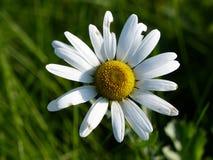 Flor de Daisy Single de la manzanilla en un fondo de la hierba Foto de archivo