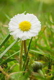 Flor de DaisyBellis con los pétalos blancos y el corazón amarillo fotos de archivo libres de regalías