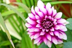 Flor de Dalia Foto de Stock