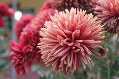 Flor de Dalia Fotografía de archivo libre de regalías