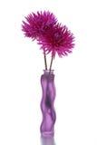 Flor de Dalia de dos púrpuras Foto de archivo