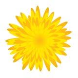 Flor de Dandelion.Spring Fotos de archivo libres de regalías