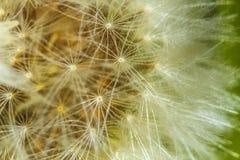 Flor de Dandellion imágenes de archivo libres de regalías