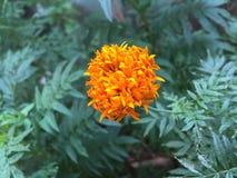 Flor de Daspathiya soplada por la mañana imagenes de archivo