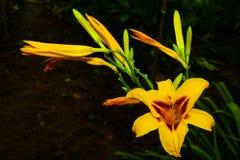 Flor de Daylily. Fotos de archivo libres de regalías