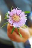 Flor de Dealbata Imágenes de archivo libres de regalías