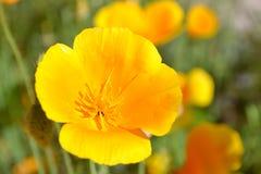 Flor de Deliya sola Imagen de archivo libre de regalías