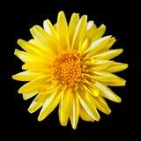 Flor de descoloramiento amarilla de la dalia aislada en negro Fotografía de archivo