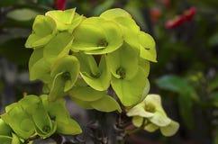 Flor de Desmoul del milli del euforbio Imagen de archivo