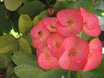 Flor de Desmoul do milli do eufórbio Imagens de Stock Royalty Free