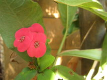 Flor de Desmoul do milli do eufórbio Foto de Stock