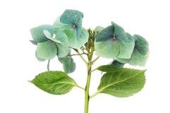 Flor de desvanecimento da hortênsia Fotos de Stock Royalty Free