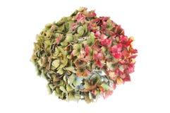 Flor de desvanecimento da hortênsia Imagens de Stock Royalty Free