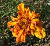 Flor de deterioração em outubro fotografia de stock royalty free
