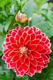 Flor de Dhalia Fotos de archivo libres de regalías