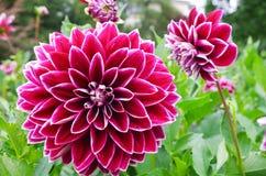 Flor de Dhalia Fotografía de archivo