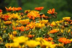 Flor de diversas margaridas alaranjadas fotos de stock royalty free