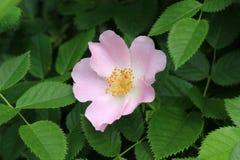 Flor de Dogrose Imágenes de archivo libres de regalías